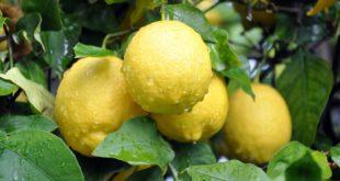 Limonla Uyumanın Faydaları